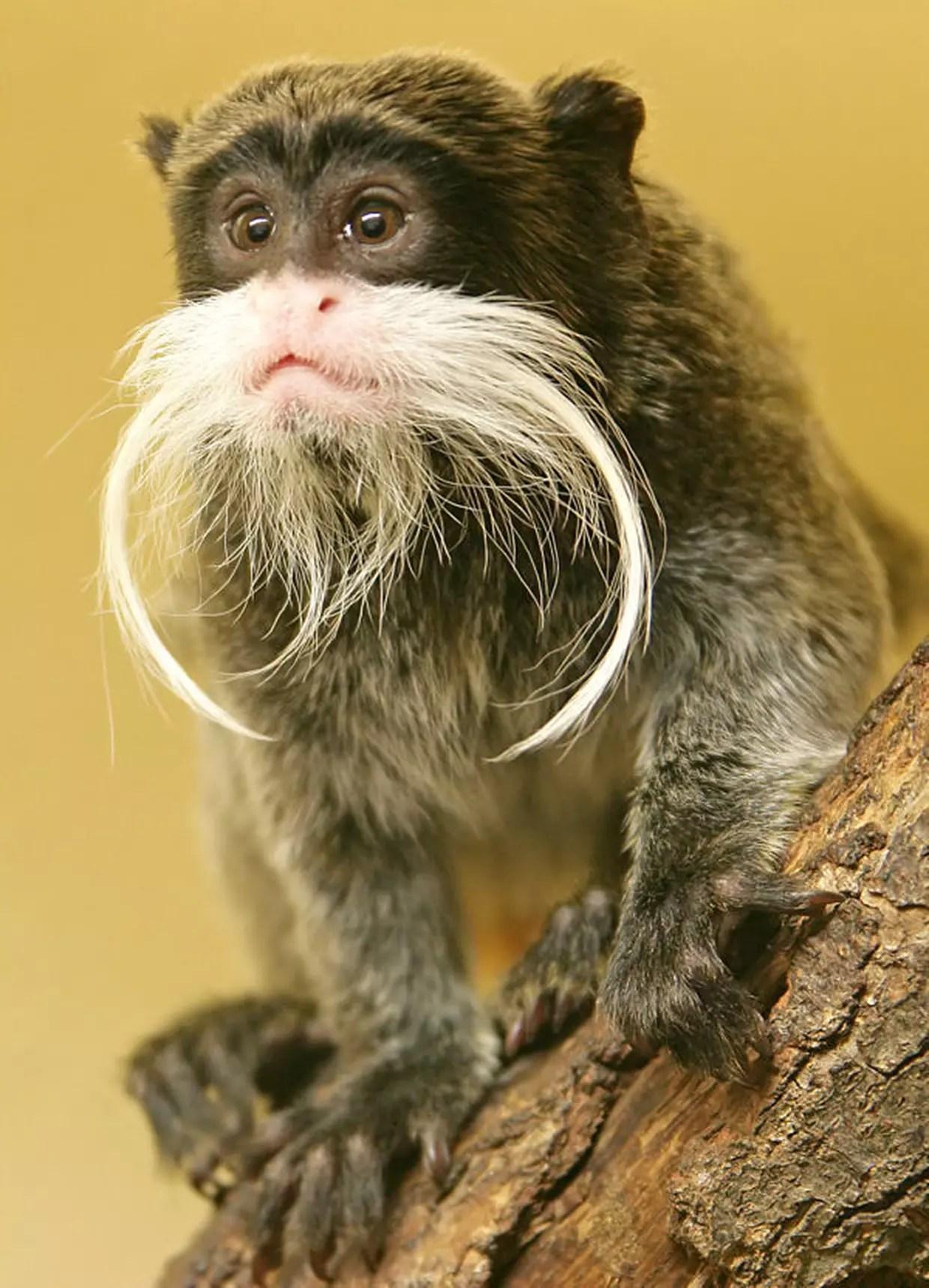 Le tamarin empereur et sa grosse moustache