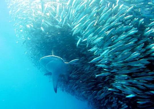Attaque sur un banc de poissons