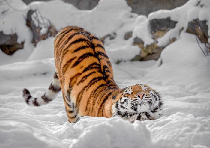 Tiger Enjoying Snow