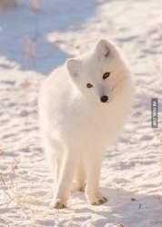 Cute arctic fox 9GAG