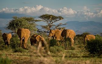 elephant-status