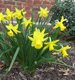 DaffodilsSML.jpg