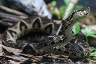 This Snake Venom Is The tool To Kill Corona Virus