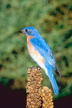 What Kind of Bluebirds Are in Tennessee  Animals  momme