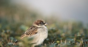 What Will Sparrows Eat  Sciencing