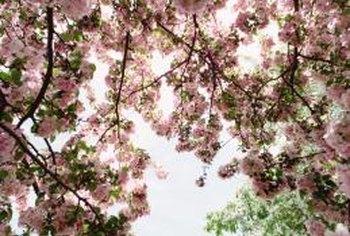Dead Cherry Blossom Tree