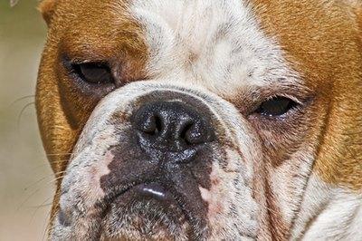 Potato Wallpaper Cute The Life Expectancy Of An English Bulldog Pets