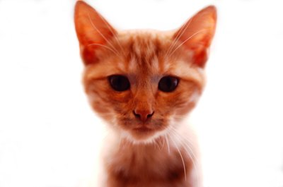 ginger tabby personality pets