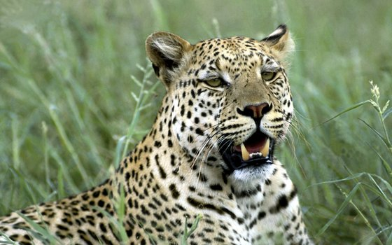 Immensely powerful for their size, leopards are one of Ghana's great predators.
