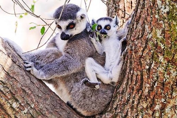 Ring Tailed Lemur Lifespan