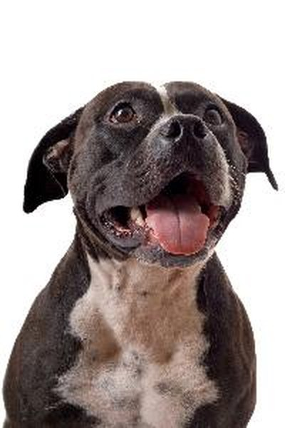 Cute Pitbull Puppies Wallpapers How To Train A Staffordshire Bull Terrier Pets