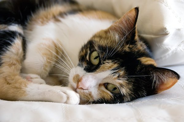 What Does it Mean When a Cat Purrs  Pets