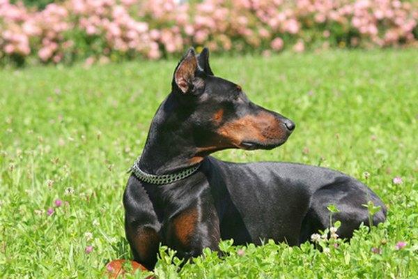 Rottweiler Fall Wallpaper Information On Doberman Pinscher Puppies Pets