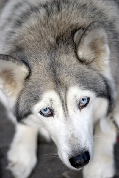 Do Blue Eyed Siberian Huskies Get Cataracts More Than
