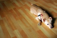 The Best Hardwood Floor for Dogs - Pets