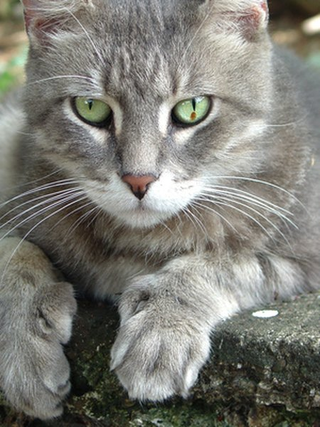 Remedy for an Upset Stomach in a Cat  Pets