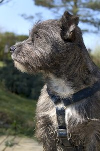 Behavior of a Cairn Terrier - Pets