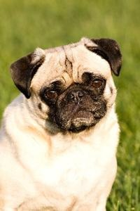 Excessive Coughing in Pugs - Pets