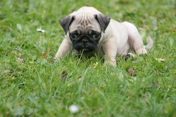 Super Cute Baby Cats Wallpaper How To Take Care Of Pug Pups Pets