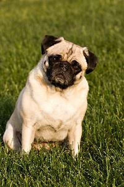 Fall Pug Wallpaper What Causes Seizures In Pugs Pets