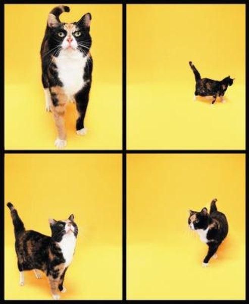 Characteristics of Tortoiseshell Cats  Pets