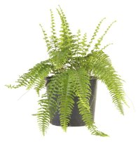 Are Ferns Bad for Cats? - Pets