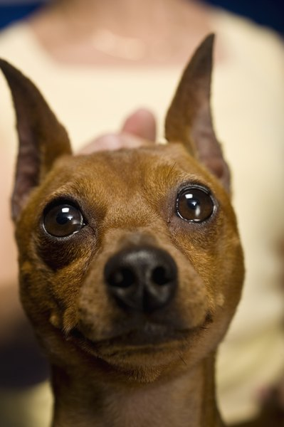 Puppies And Fall Wallpaper How To Retrain A Miniature Pinscher To Potty Outside Pets