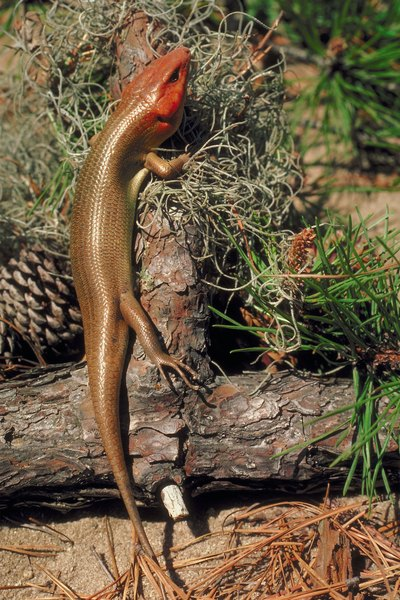 All Kinds of Lizards That Live in Illinois  Animals  momme