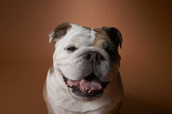 Puppies In Fall Wallpaper Daily Grooming For An English Bulldog Pets