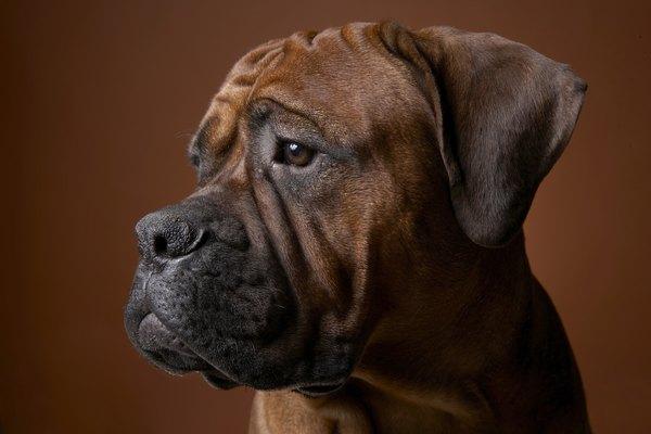 Black Lab Fall Wallpaper Reasons Why Boxer Puppies May Lose Their Hair Pets
