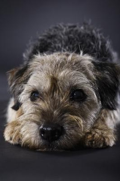 cats in the kitchen solid surface countertops grooming and thinning a border terrier - pets