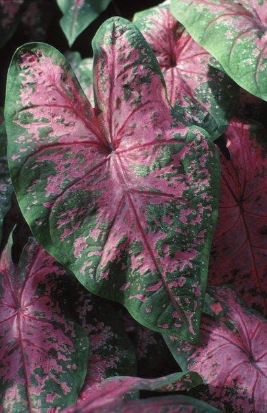 Non Flowering Plants Ornamental