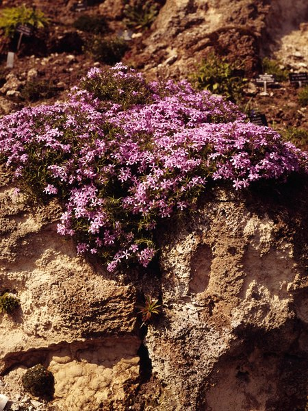 Plants That Look Good With Phlox Home Guides SF Gate