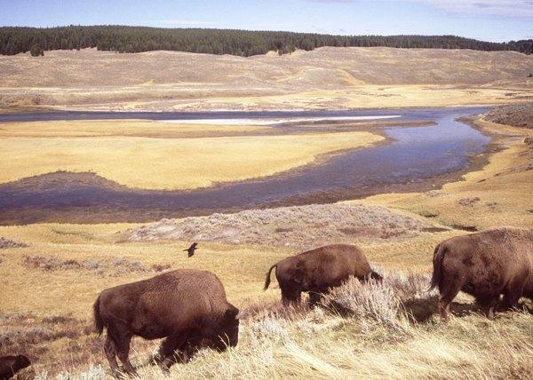Buffalo eat grass in an open prarie.