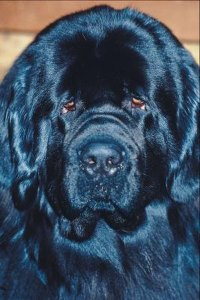Newfoundland Dog Behavior - Pets