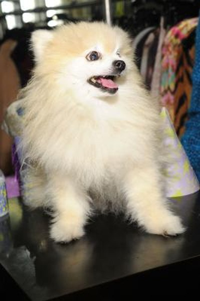 Is It Bad To Shave Pomeranians Pets
