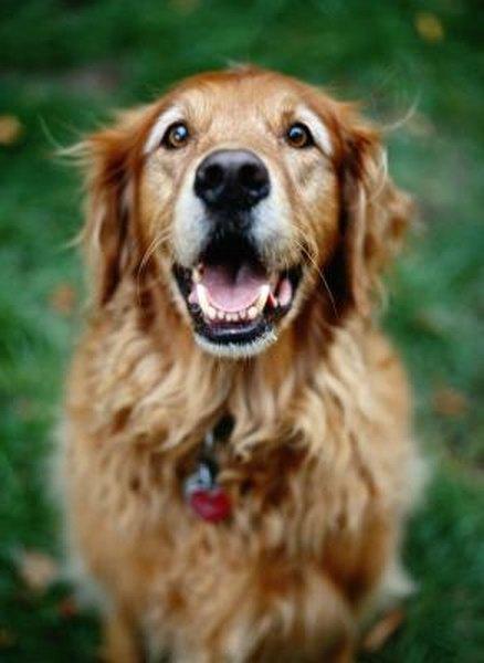 Adopting Senior Golden Retrievers - Pets