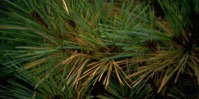 White Pine Vs Yellow Pine Needles