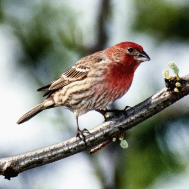 How to Differentiate Between a Male  Female Sparrow
