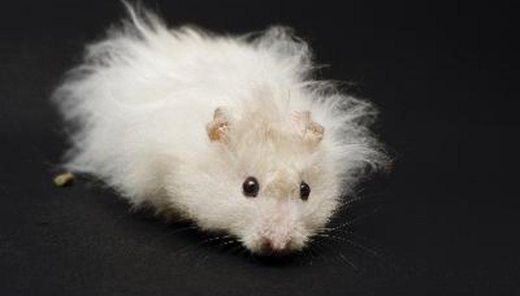 """Résultat de recherche d'images pour """"long-haired gray hamster"""""""