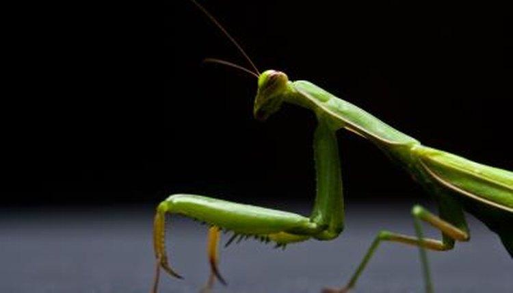 about praying mantis pods
