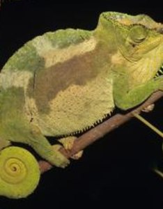 Tom brakefield stockbyte getty images also description of chameleon color phases animals mom rh animalsm