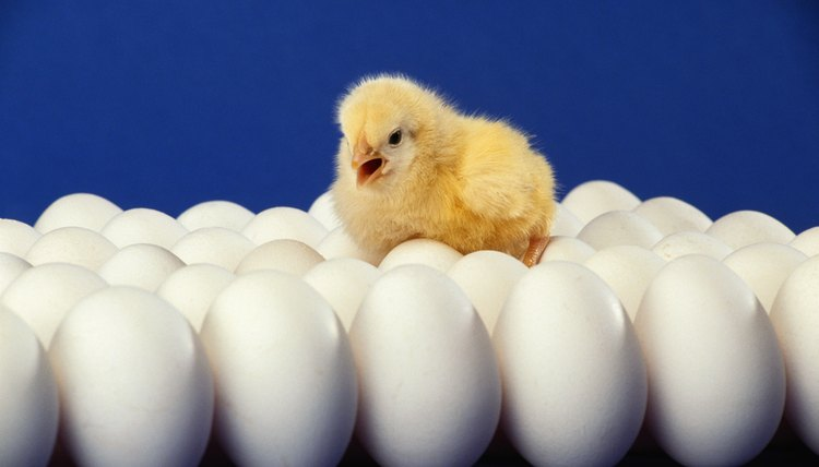 baby chicken on top of eggs