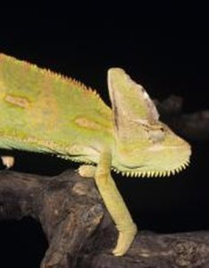 Identifying  veiled chameleon   color and mood by naomi millburn tom brakefield stockbyte getty images also animals mom rh animalsm