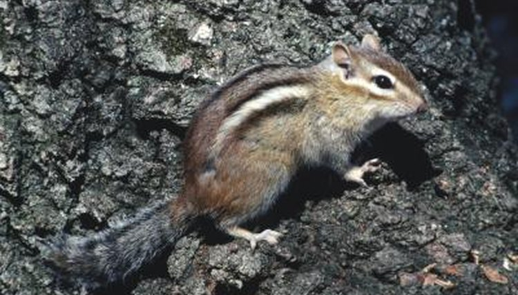 mating habits of chipmunks