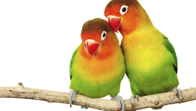 difference between lovebirds parrotlets