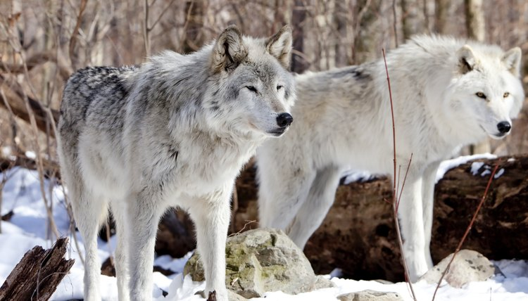 Black And Grey Camouflage Wallpaper Facts About Tundra Wolves Animals Mom Me