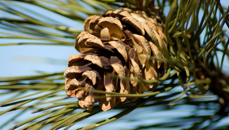 ... Make a Pine-Cone Bird Feeder Without Using Peanut Butter | Sciencing