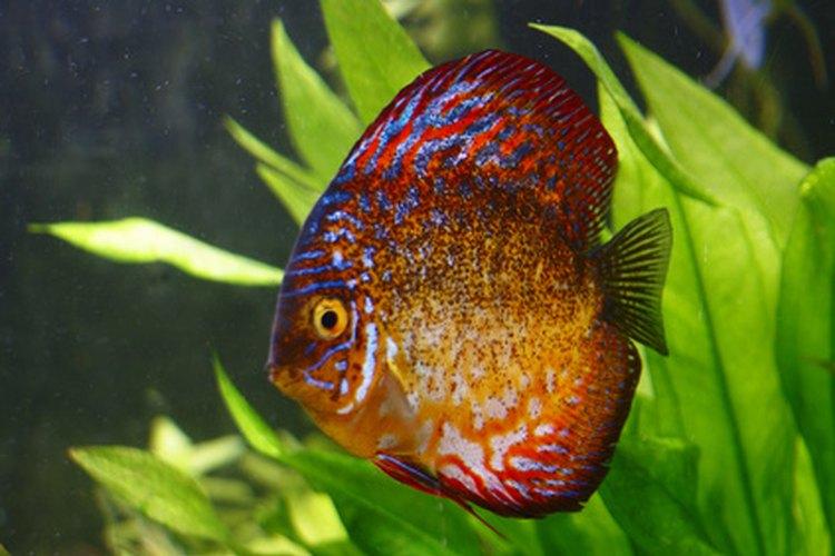 Lista de peces tropicales de agua dulce