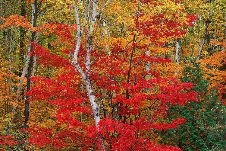 El momento de la floración, producción de semillas, la dispersión y germinación depende de la especie del árbol de arce.